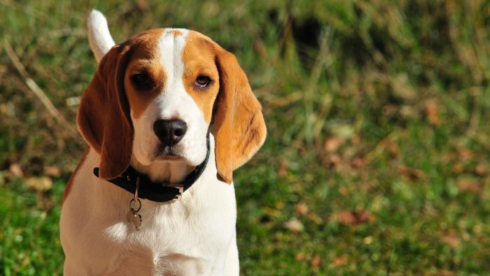 chien de chasse beagle