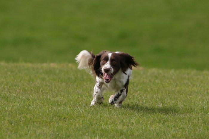 chien de chasse springer anglais